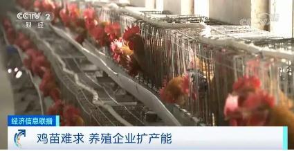 鸡肉、鸡蛋价格一路上涨,养殖企业扩产能鸡苗难求