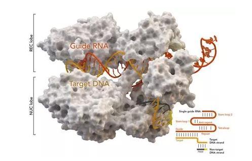 Denis Rebrikov:在人类卵子中开展校正耳聋基因突变的基因编辑实验