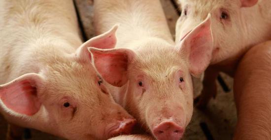 中国已批准巴西7家猪肉加工厂向中国出口猪内脏