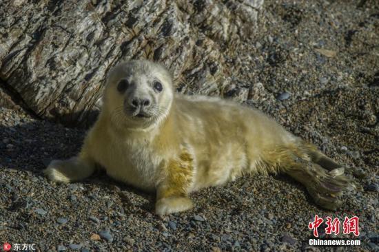 致命病毒海豹瘟热病毒(PDV)在北极的海洋哺乳动物中迅速传播