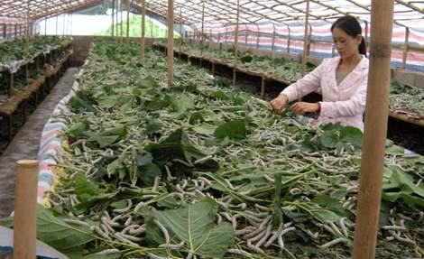 仪陇县蚕桑丝绸产业重振雄风,引进实力雄厚的龙头企业