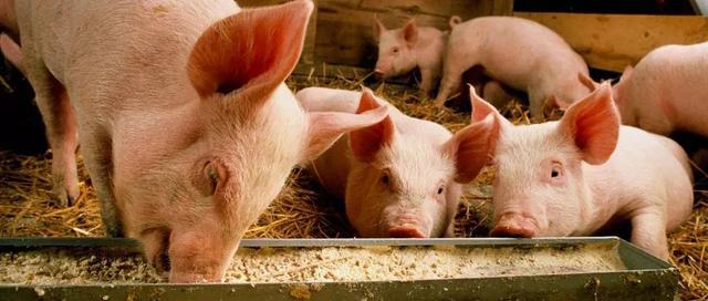 猪肉价格开始下降了?河南首富秦英林旗下牧原股份计划投资110亿扩大生猪养殖