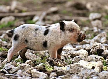 我国非洲猪瘟病毒科研攻关取得重要进展:科学家成功分离非洲猪瘟病毒流行株