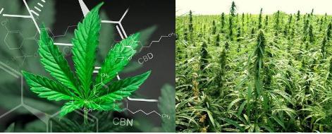 德展健康完善工业大麻布局,初见成效