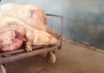 佛山一肉联厂洗白病死猪流入市场,数量高达数千斤之多
