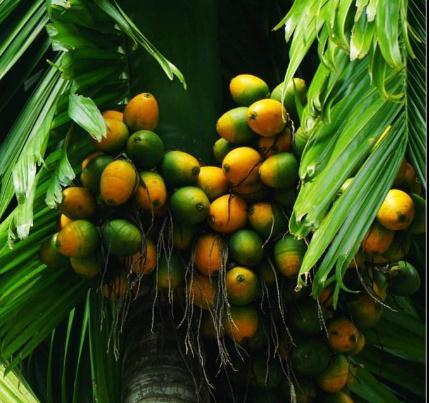 国内外棕榈果采摘现状、采摘机械研究及应用