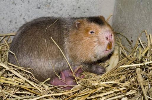 竹狸是不是竹鼠?竹狸养殖市场价格、现状及项目调研