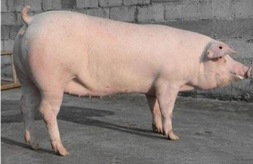 长白猪有几种?长白猪的疾病防治技术