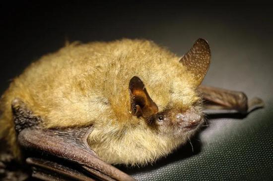 揭秘蝙蝠不中毒之谜,超负荷让免疫系统工作