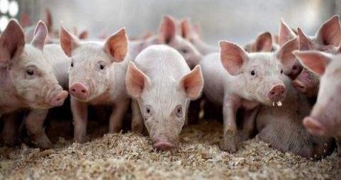 2020非洲猪瘟过去了吗?非洲猪瘟疫苗什么时候能上市?