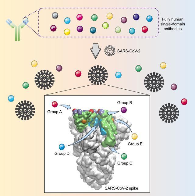 新冠全人源纳米抗体,这项新技术有重要意义