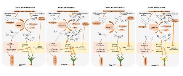 揭示水稻糖基转移酶影响代谢流重新定向