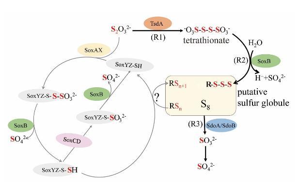 深海冷泉环境细菌氧化硫代硫酸钠形成单质硫新型途径的研究成果