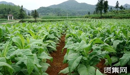 有机肥对烤烟生长、产量、质量的影响研究