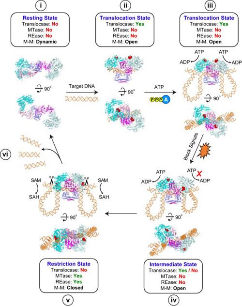 激活天然免疫反应,原核细胞对外源DNA进行天然免疫识别和应答