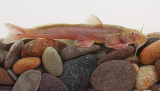 独龙鰋:云南西部发现鮡科鱼类一新种