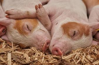 正邦科技拟募资不超80亿元,用于发展生猪养殖业务、补充流动资金