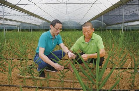 湖北来凤县生姜基地:凤头姜种植时间短,亩产值在1万元左右