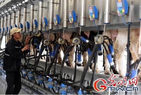 現代化牧場有什么特點?配備智能化擠奶器擠28頭奶牛只需15分鐘
