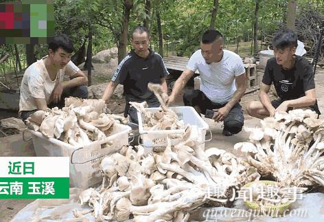 云南村民捡到312斤巨型野生菌,究竟是怎么回事?