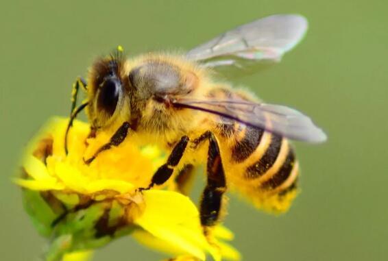 蜂王浆如何提高人体免疫力?农科院揭示10-HDA具有保护免疫器官的功能