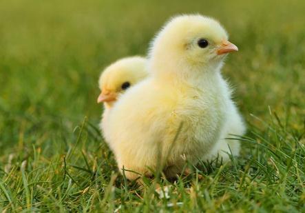 冬季养鸡注意事项,如何通风鸡才不会感冒