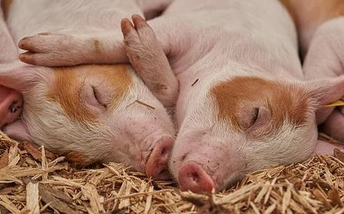 分析猪肉市场供需形势及预测后期变化