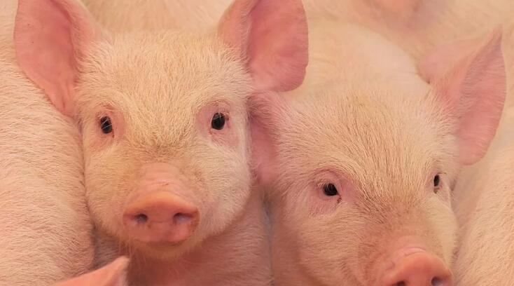 养殖技术的三大关键点,这三大关键点是猪场运营的重中之重