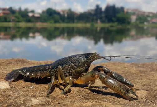 变异龙纹鳌虾无须交配,超强的繁殖力让欧洲全面沦陷