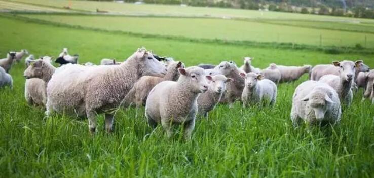 4万元在农村是否可以养羊,养殖新手值得了解