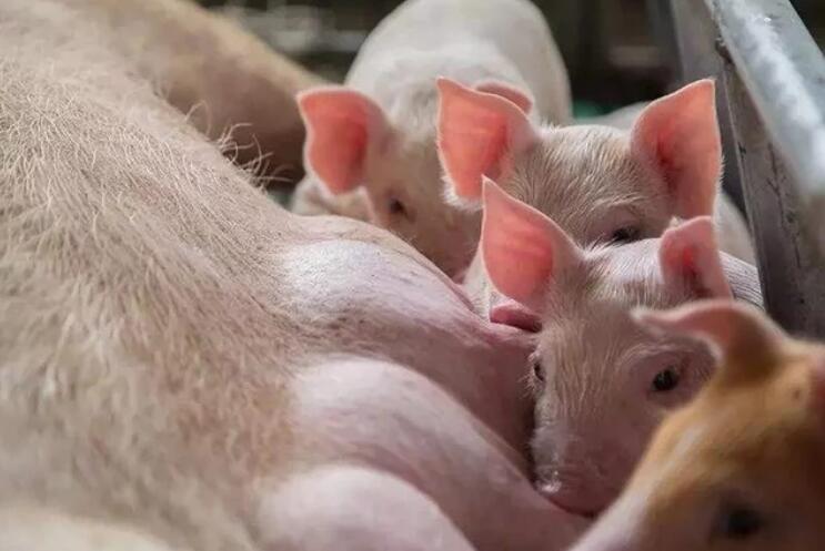 推荐7个养猪场保健方案,值得收藏!