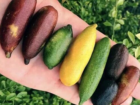 指橙这种水果没农民敢种植,竟是因为它种植风险太高