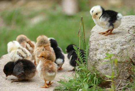 养2万只鸡一年净挣10来万元,养鸡项目成为脱贫致富妙招
