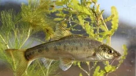 """滇池多种土著鱼已实现人工繁殖,现如今数十万尾土著鱼""""回家"""""""