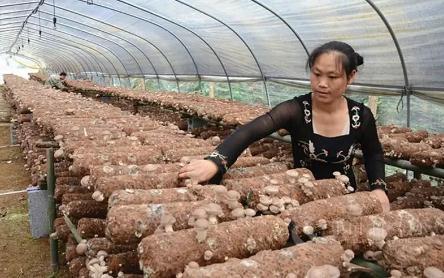 大棚种香菇赚钱吗?揭密大棚香菇最真实的利润
