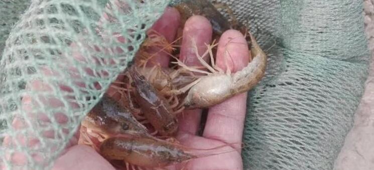 了解四五月份小龙虾养殖中会出现的三个常态