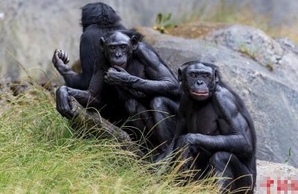 美国9只大猩猩接种新冠疫苗,目前状况良好