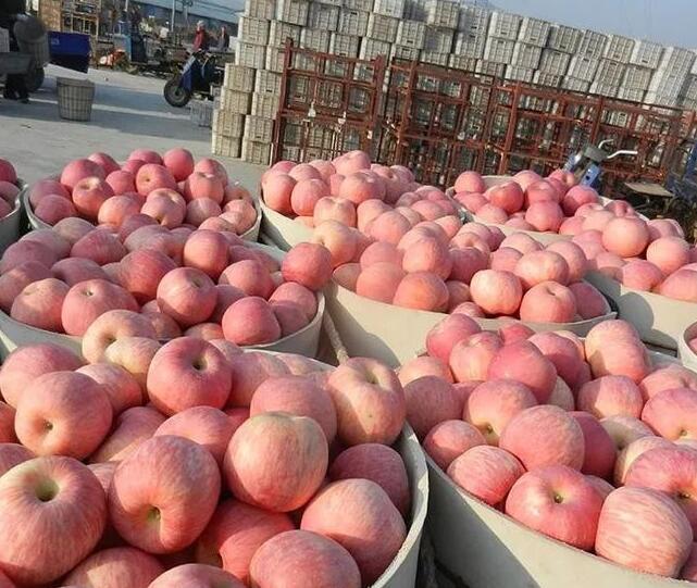 苹果、酥梨价格下滑,果农又累又辛苦,收获却不好