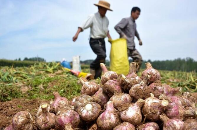 3.5元的大蒜毛利润有10%,网上卖大蒜也算好生意