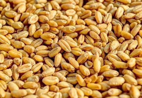 77%的种子企业曾遭剽窃,新品种登记制度与维权尚待进一步完善