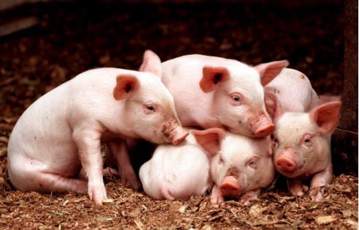 3月份6起非瘟5起属违规调运,今日起生猪跨区禁运,猪价会大涨吗