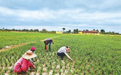 中国农业技术援助坦桑尼亚,合作结硕果