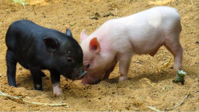 勃林格殷格翰茵温净猪瘟活疫苗在中国上市,猪瘟疫苗多少钱一支