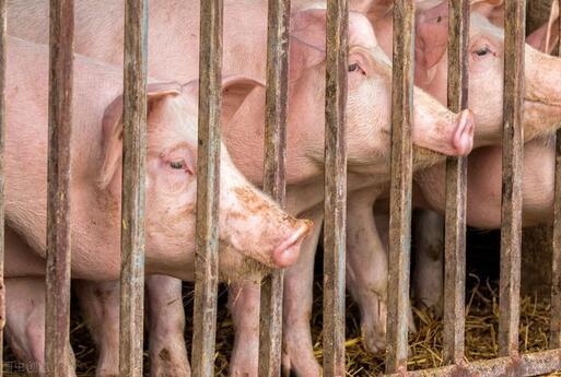生猪价格创19个月新低,5月猪价必定反弹?实则缺乏支撑