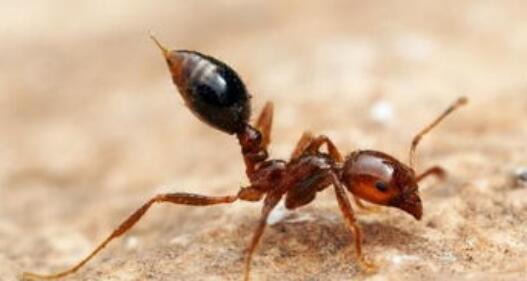 红火蚁生态危害大位列最危险入侵物种,已传播至国内10余省份