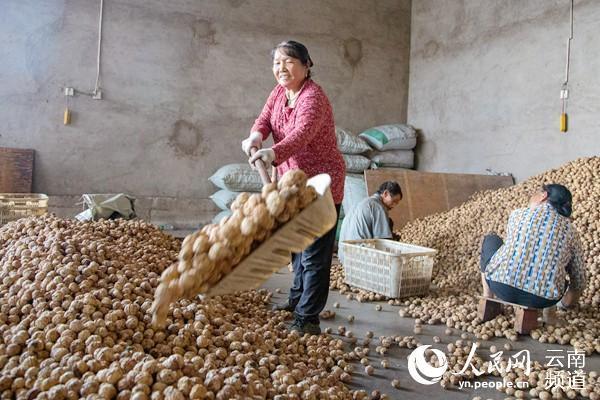 《云南省核桃产业提质增效三年行动方案(2021—2023年)》出台,云南省核桃种植面积达4303万亩