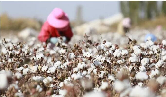 揭秘新疆棉花及棉制品的世界地位真相,如何提高中国棉花行业的话语权?