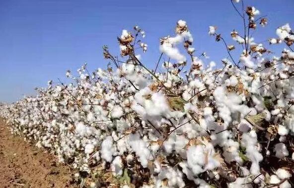 印度疫情失控对中国棉市有何影响?
