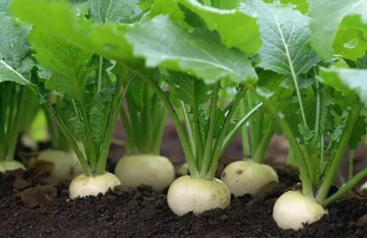 盘菜:种植超2000年,常被误认成萝卜,经常被用来做成腌菜
