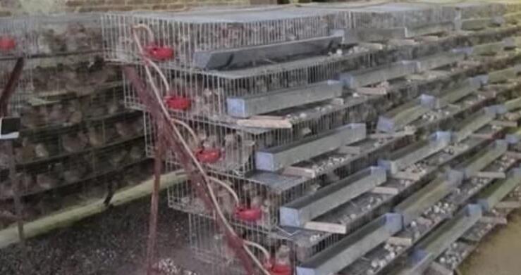 鹌鹑养殖:一年到头都能繁殖,可以用笼子养殖,市场前景好